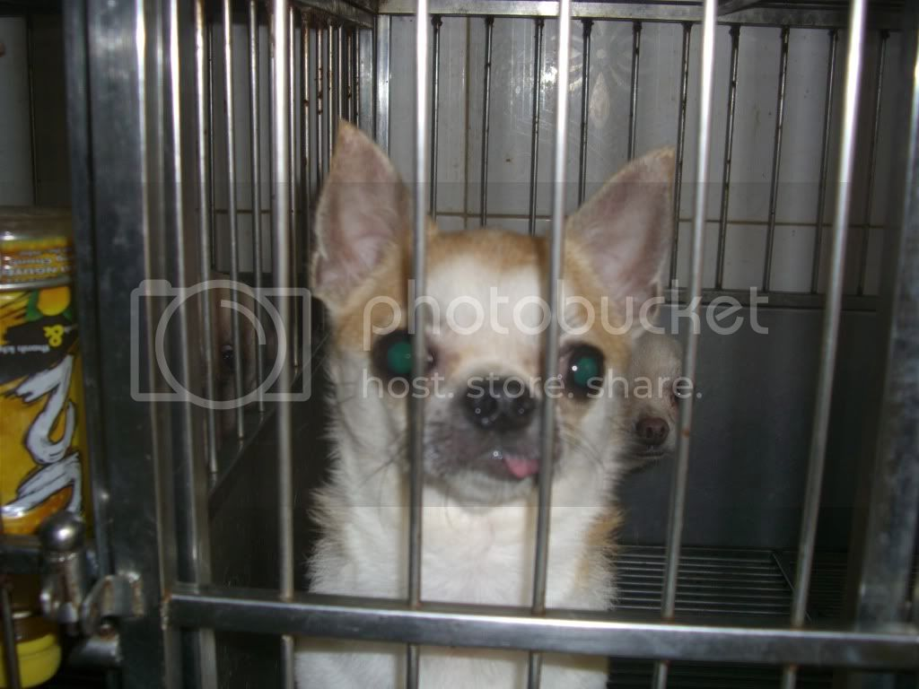 Tri Ch King Chihuahua --Thanh Tng -- Chuyn Cung Cp v nhn phi Ging chihuahua